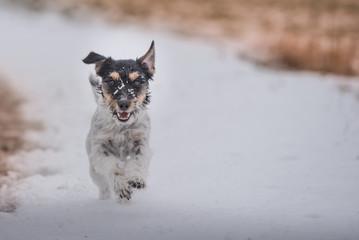Rennender Jack Russell im Schnee. Ein malerisches Bild