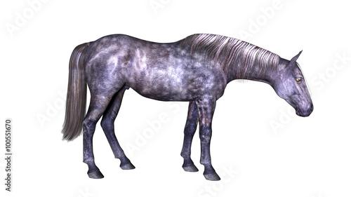 Horse standing, hoofed animal isolated on white background