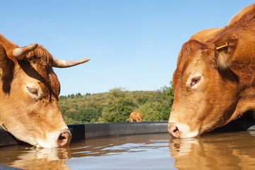 Two thirsty Limousin beef cows drinking from a plastic  water tank in a pasture on opposite sides, close up of their heads