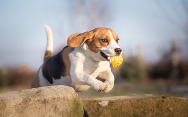 Beagle dog jumping with ball in his mouth