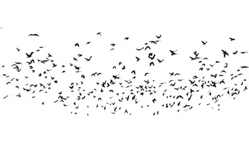 Printed roller blinds Bird flock of birds isolated on white background, with clipping path, Rook (Corvus frugilegus)
