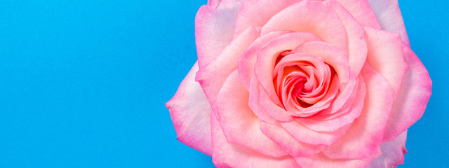 Pink rose flower on blue background