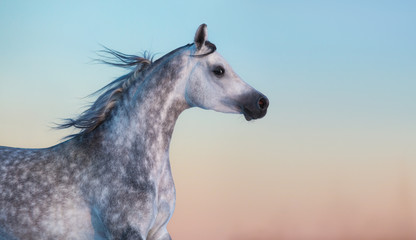 Wall Mural - Gray purebred Arabian horse on background of evening sky