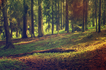 Wall Mural - North scandinavian pine forest, Sweden natural travel outdoors vintage hipster background