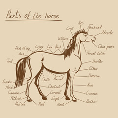 Parts of horse. Equine anatomy. Equestrian scheme with text on craft paper. Hand drawing vector illustration.