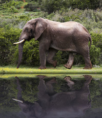 Image of a elephant bull walking in the South African bush with a reflection.