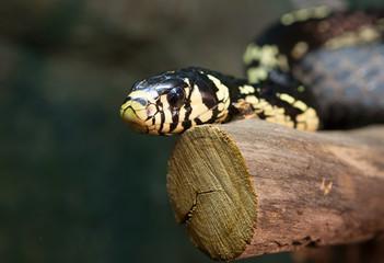 Змея куроед Chicken snake