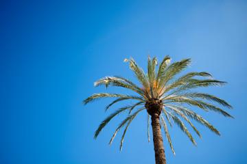 mediterranean palm tree