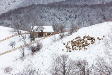 Winter landscape, a flock of sheep on a hill, in Transylvania, Romania