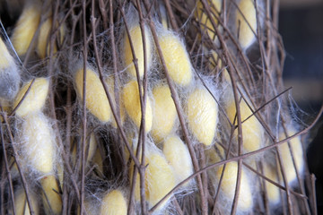 Silk Farm, clothes produce from silkworm insects cocoon, textile factory