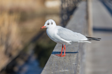 White seagull on urban background.