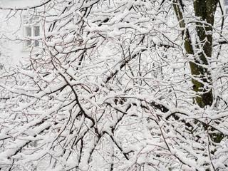 Verschneite Äste eines Lindenbaums mit Fenster im Hintergrund