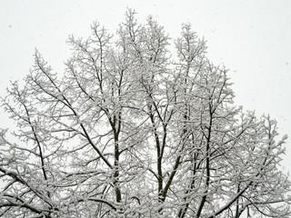 Baumkrone einer Linde - verschneit