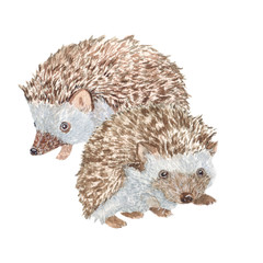 Hedgehogs/ Watercolor painting. Can be used for postcards, prints, paper wrapping and design