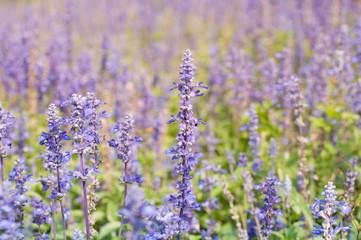 Violet lavender closeup, selective focus