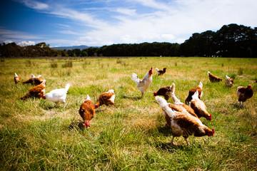 Foto op Plexiglas Weide, Moeras Chickens In A Field