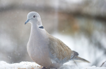 Pigeon at the window in a winter day