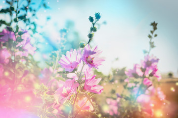 Summer floral nature background with mallow blooming