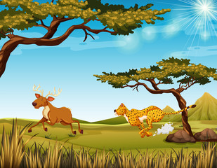 Tiger chasing a deer in the field