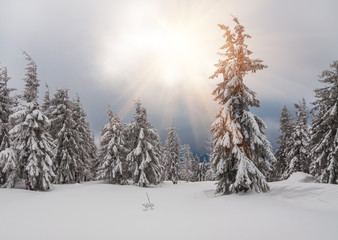 snow-covered firs in forest