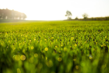 Fresh spring grass with drops on natural defocused light green background.