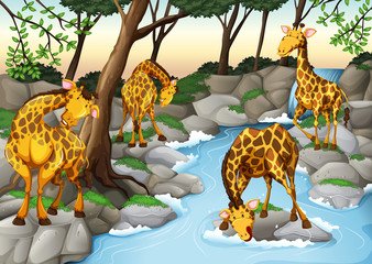 Four giraffes drinking water from the river