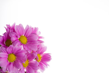 Pink oxeye daisy flowers bouquet isolated on white