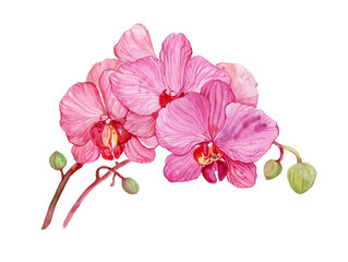 illustration watercolor,flower Orchid
