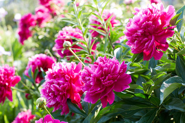 Buds bright pink peonies in a summer garden