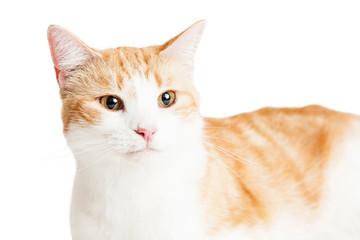 Closeup Orange and White Cat