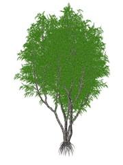 African or lagos mahogany tree, khaya ivorensis - 3D render