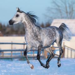 Fototapete - Dapple-grey stallion of Arabian breed in motion