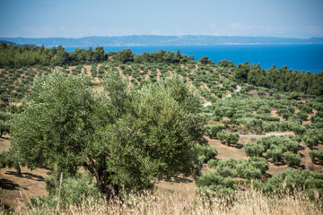 Olive trees grove by the sea