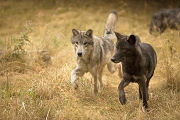 Wolves in Field