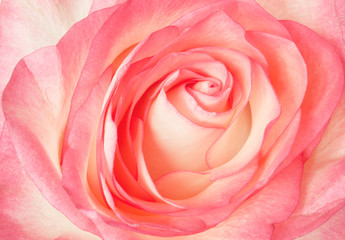 Pretty pastel pink rose close-up