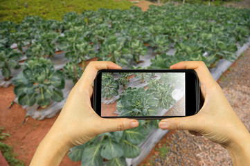 take photo by smart phone concept. veggie plot in the garden at