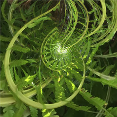 Abstract spiral of fern