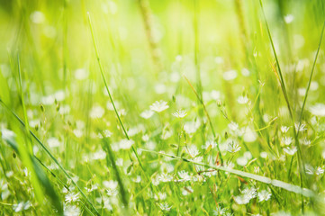 Green grass and little white flowers in the sunlight