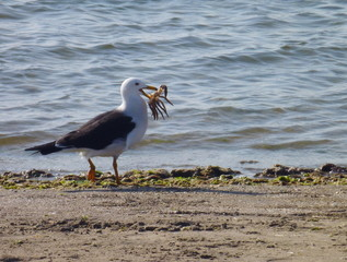 seagull has just catched a crab