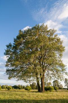 Samotne okazałe drzewo olsza (Alnus) rosnące na łące