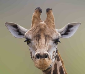 I Am Beautiful, A Cute Giraffe portrait.