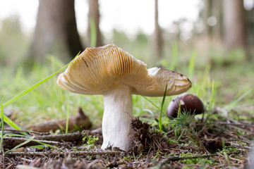 Close up of a mushroom in the forest
