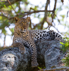 Leopard is lying on a tree. National Park. Kenya. Tanzania. Maasai Mara. Serengeti. An excellent illustration