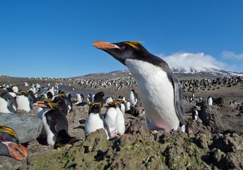 Macaroni penguin in huge colony with snowy mountain in the background, blue sky,  Zavodovski Island, South Sandwich Islands, Antarctica