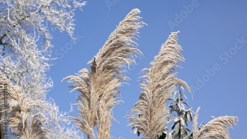 pampas grass in the winter v deos stock e royalty free. Black Bedroom Furniture Sets. Home Design Ideas