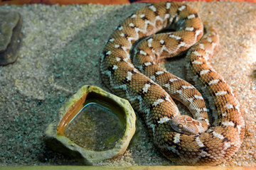 Среднеазиатская эфа Central asian sand viper