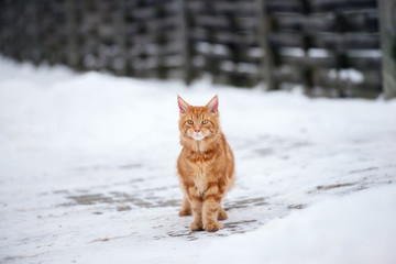 maine coon cat outdoors in winter