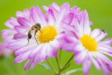 Resultado de imagen para abejas polinizando