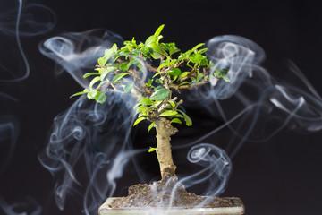 bonsai con fumo