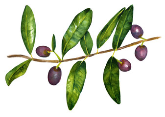 Vintage style drawing of branch of olives with green leaves
